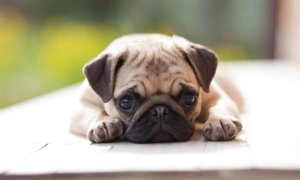 7 dog breeds to grow with your children